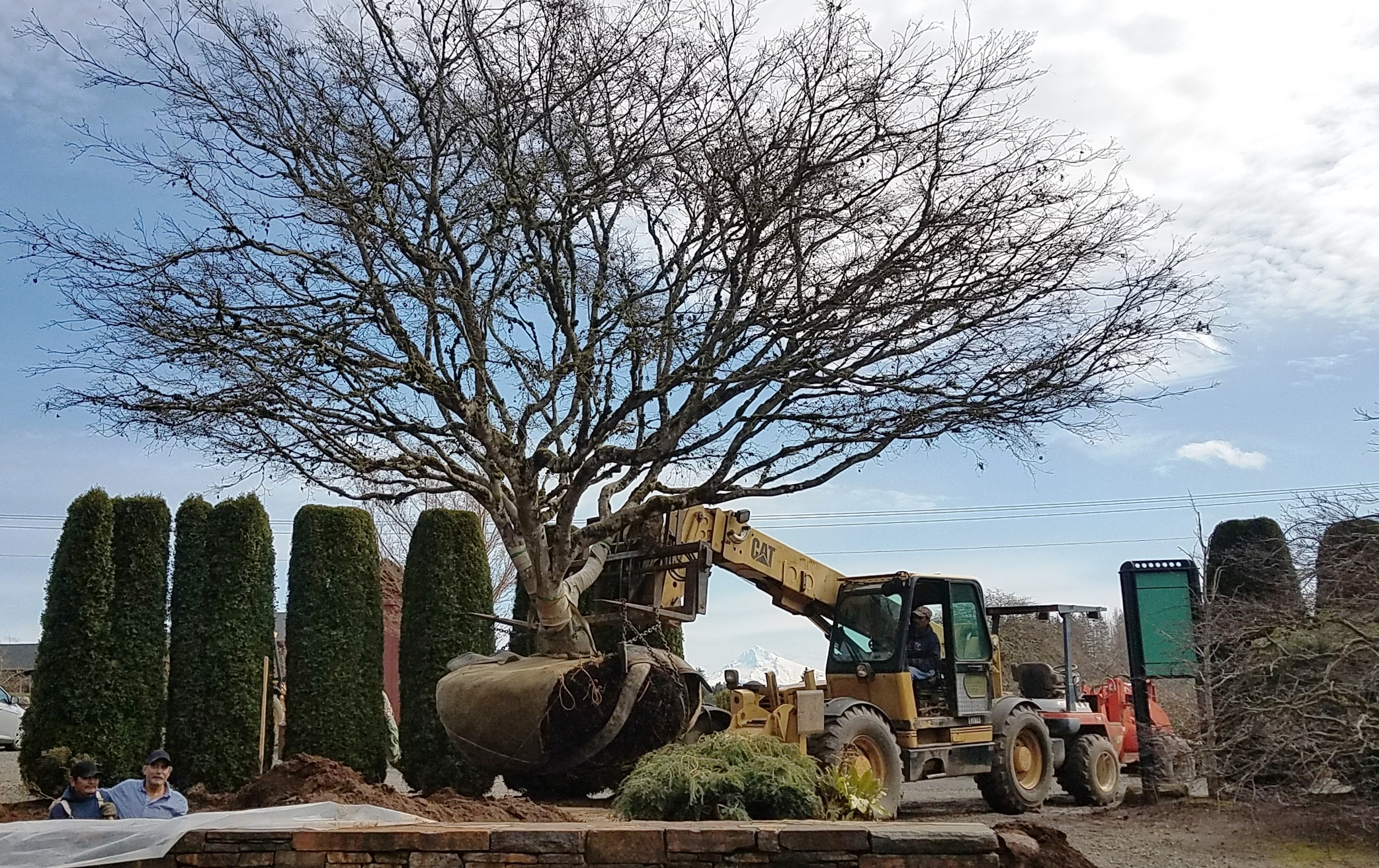 Specimen Japanese Maple Planting.jpg