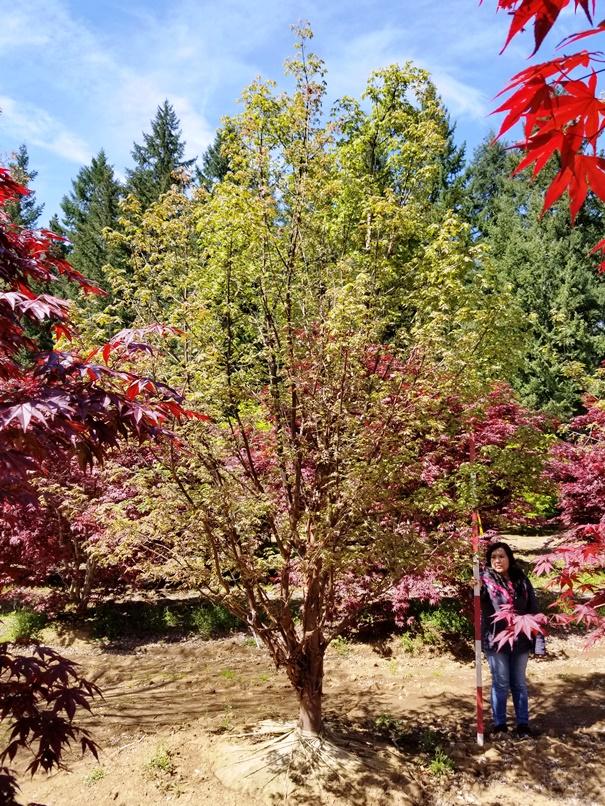 Acer grisuem