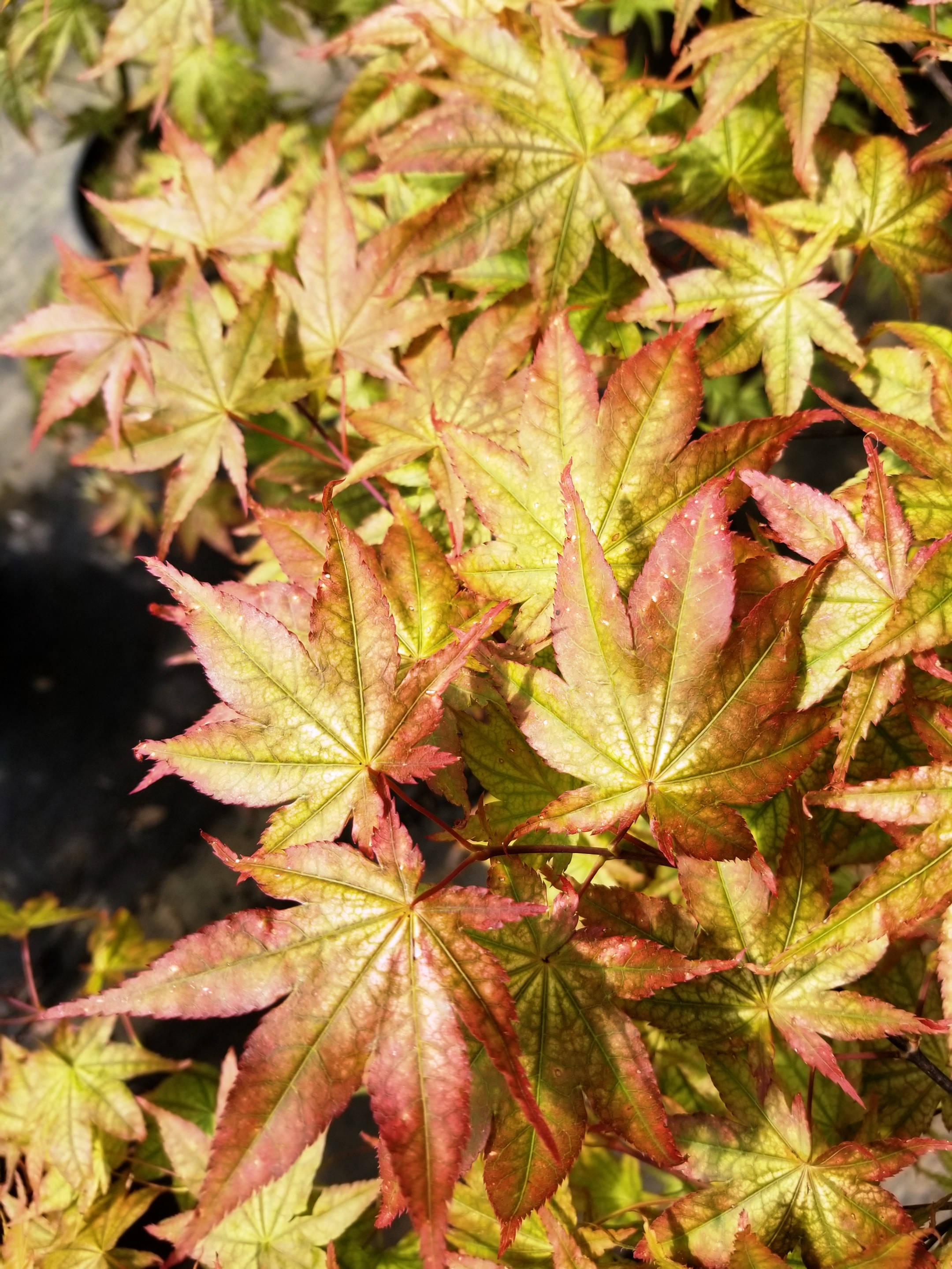 Acer p. 'Peaches and Cream'