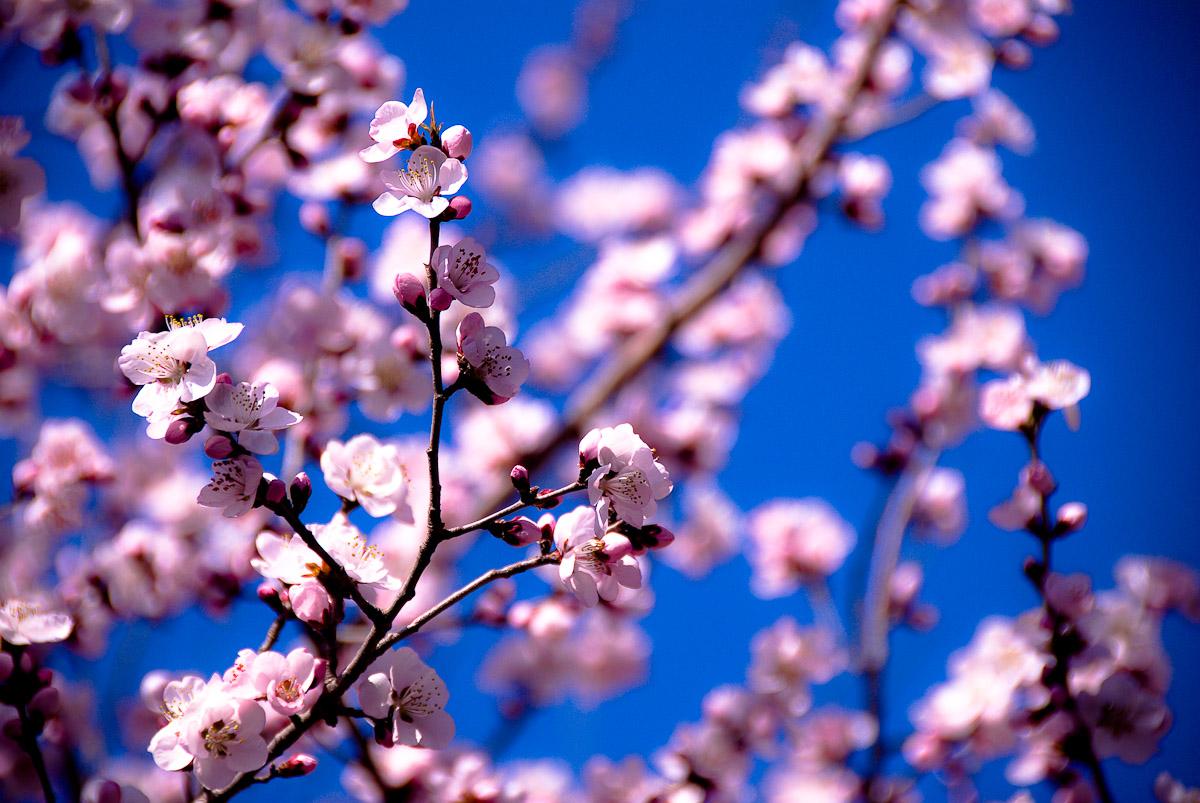 20080413_CherryBlossom_2042_df.jpg
