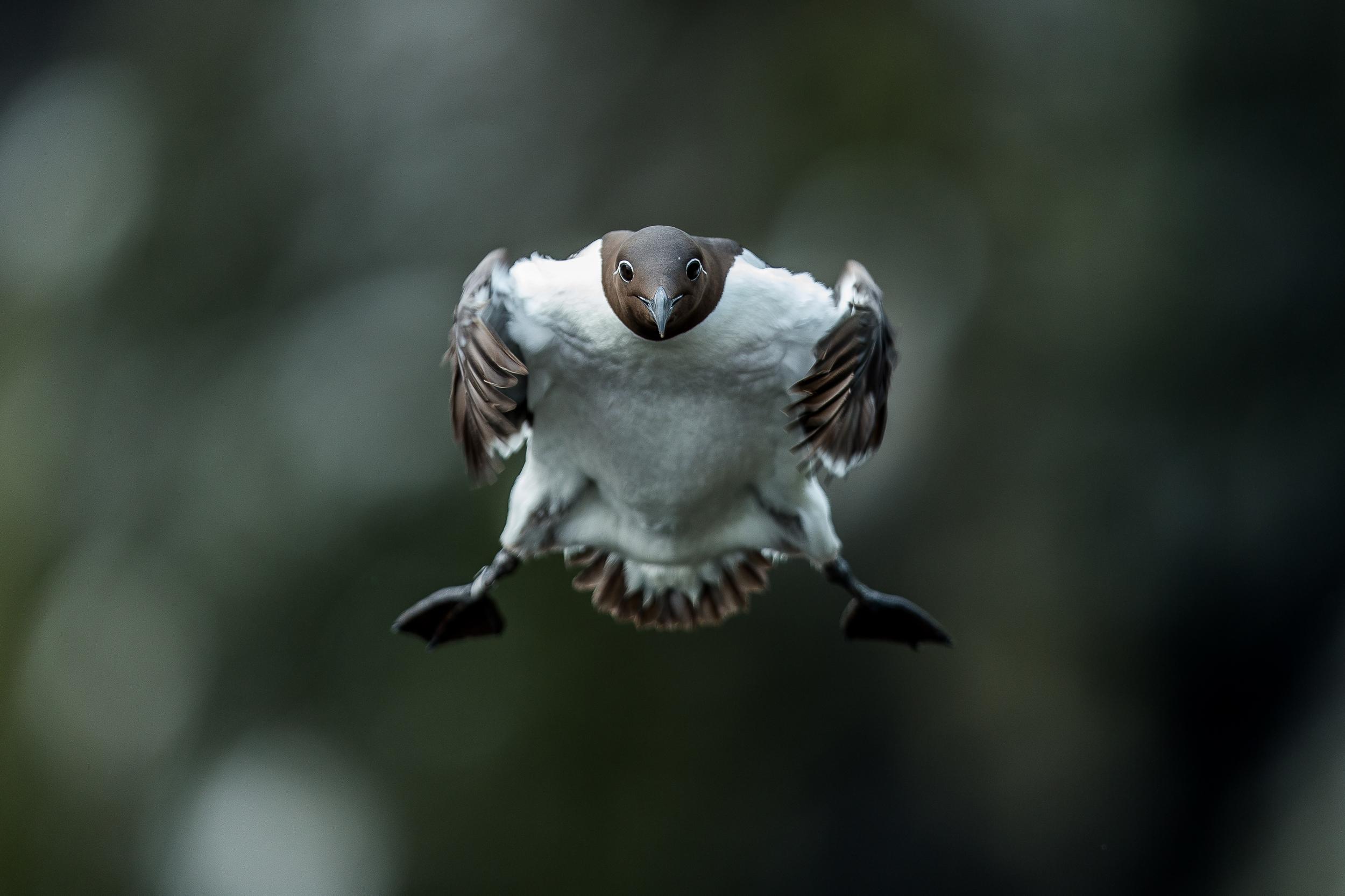 Guillemot de troïl - Ile de lunga - Ecosse