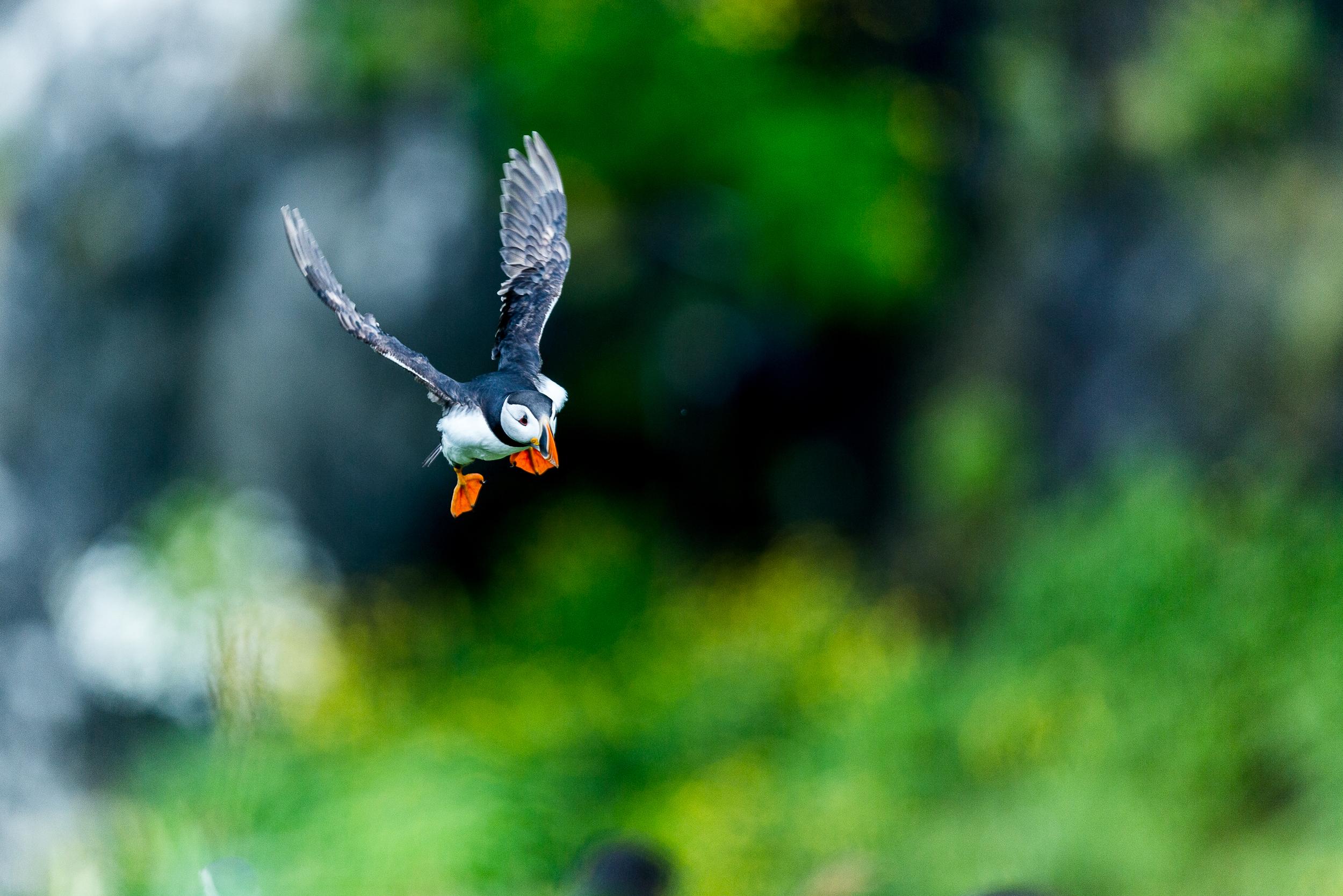 Macareux moine - Ile de lunga - Ecosse
