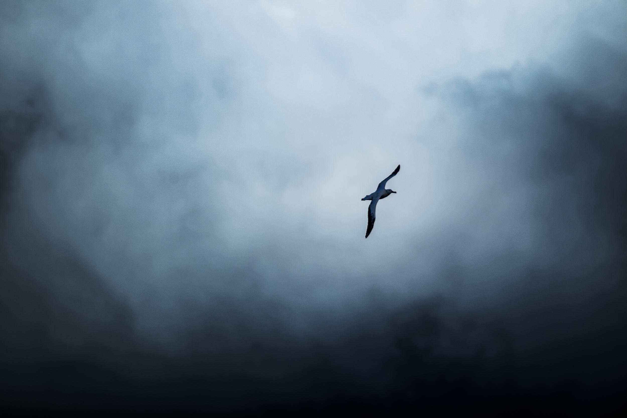 Albatros hurleur - Géorgie du sud