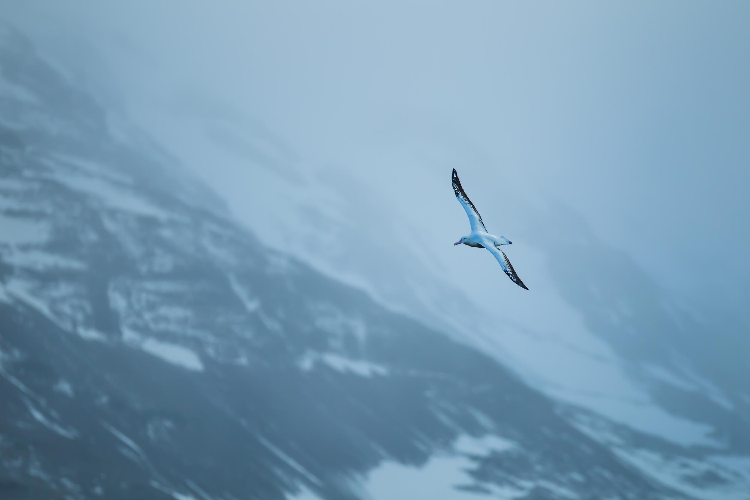 Vol d'albatros hurleur - Géorgie du sud