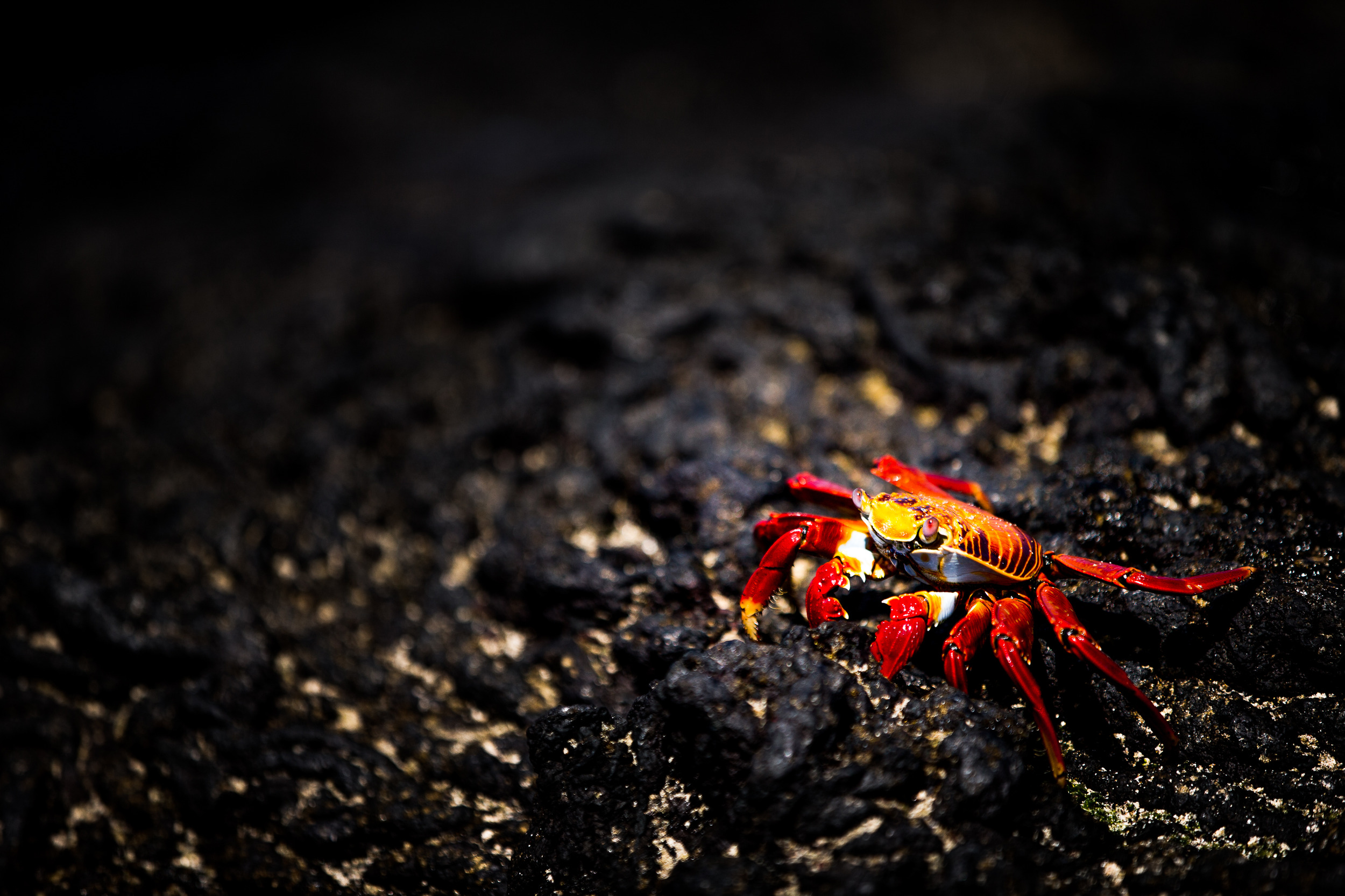 Crabe rouge - Iles des Galapagos - Equateur
