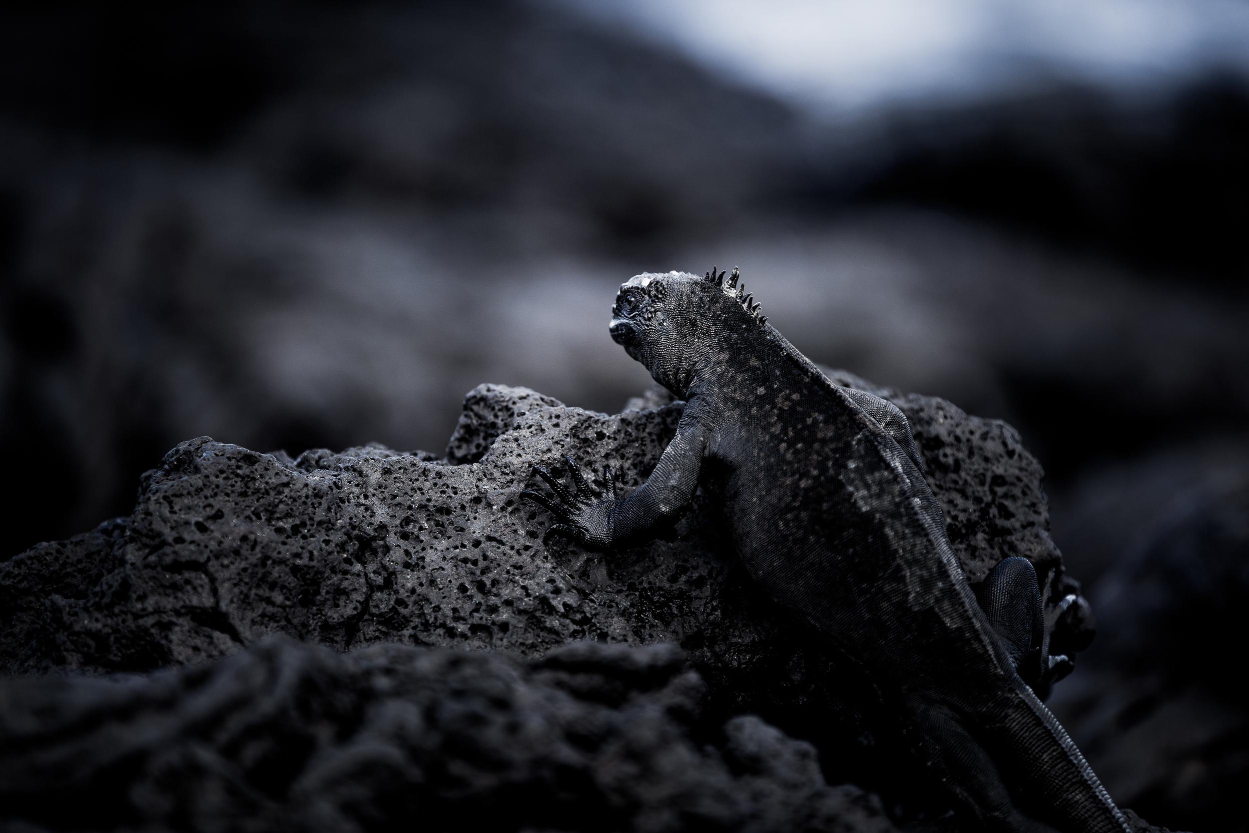 Iguane marin - Iles des Galapagos - Equateur