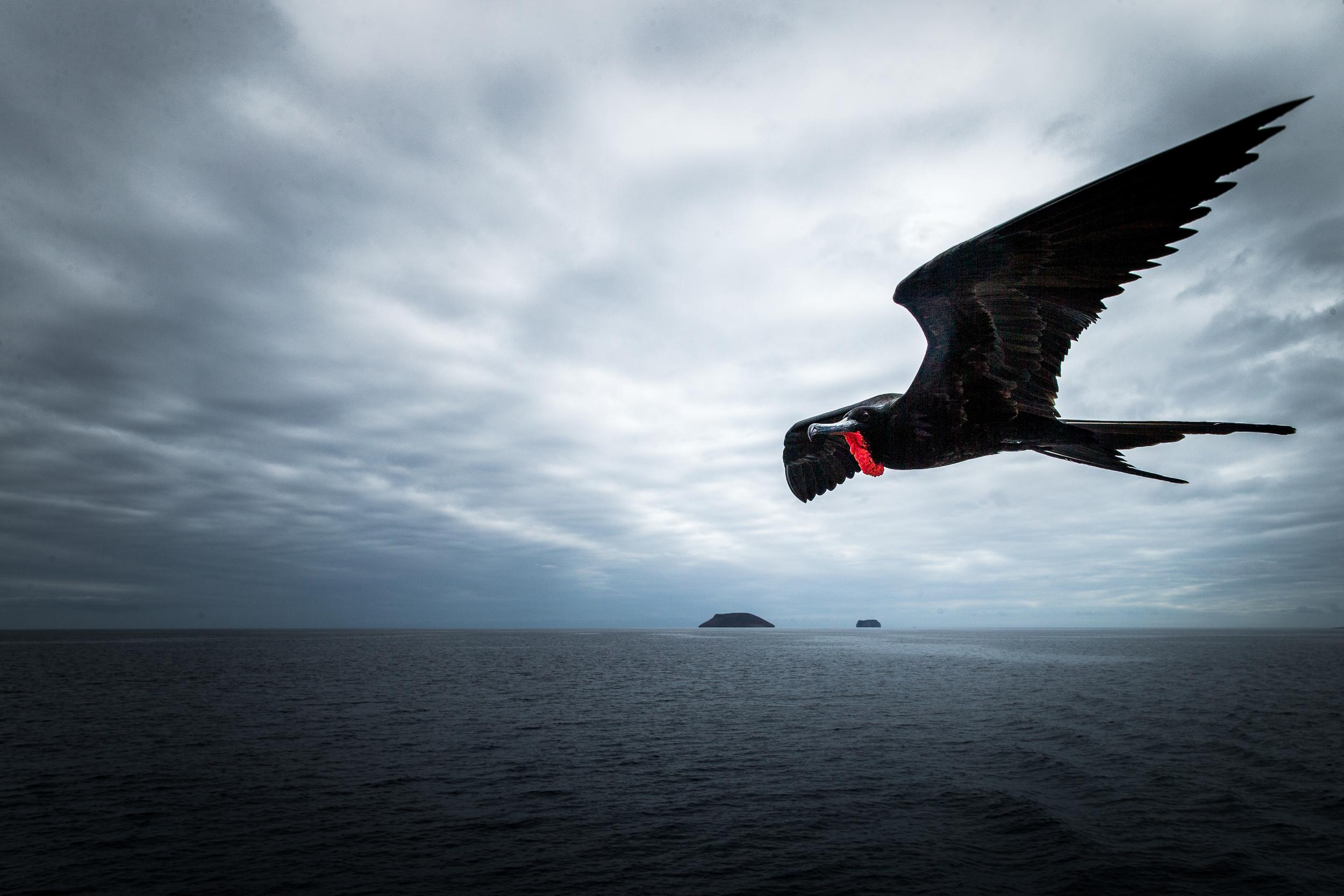 Frégate du Pacifique - Iles des Galapagos - Equateur