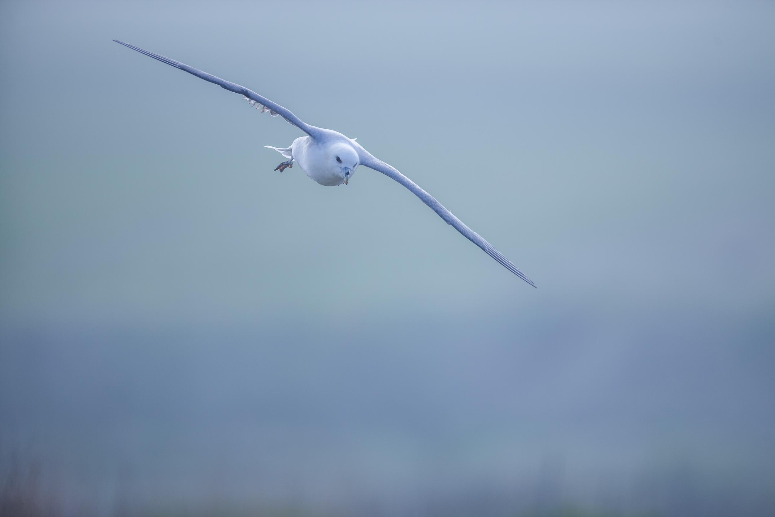 Fulmar boréal en vol - Normandie sauvage