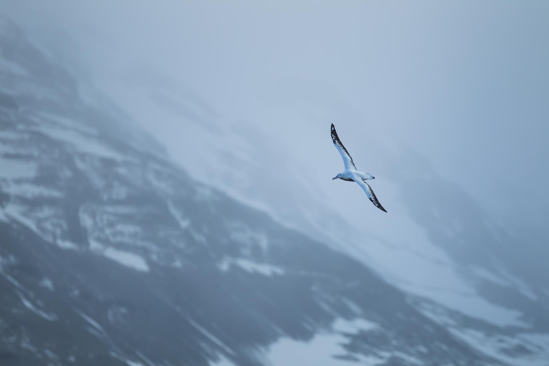 Albatros hurleur - Ile de la géorgie du sud
