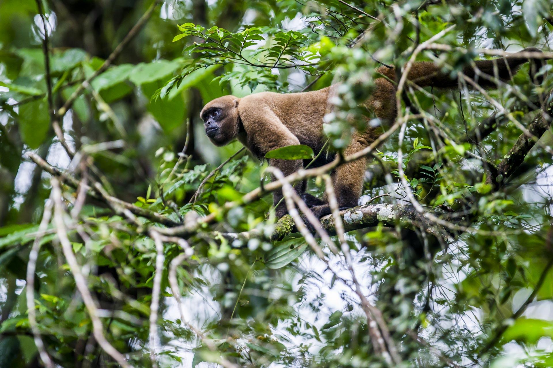 Singe laineux - Lagothrix - Amazonie - Equateur
