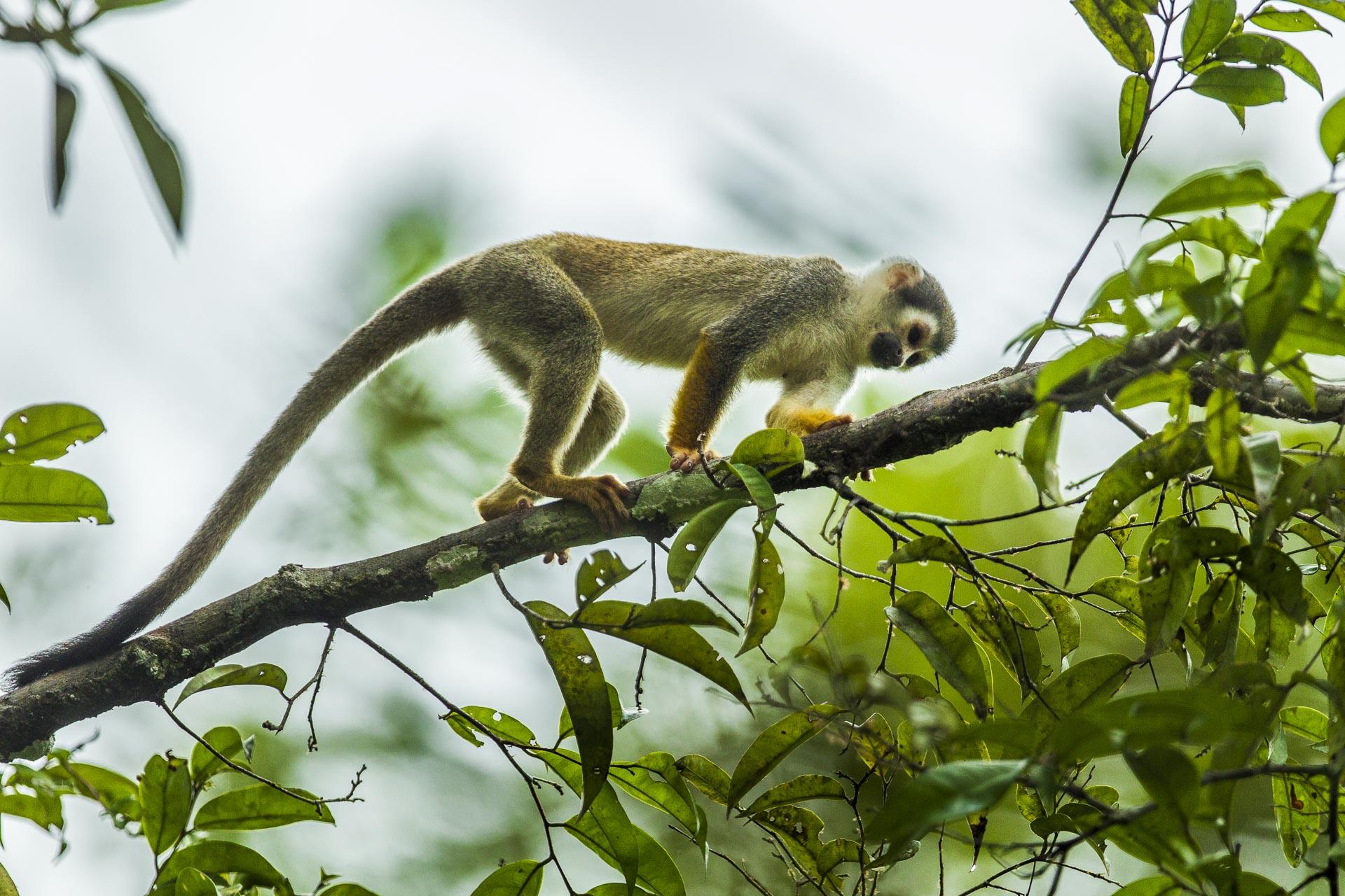 Singe écureuil - Amazonie Equateur