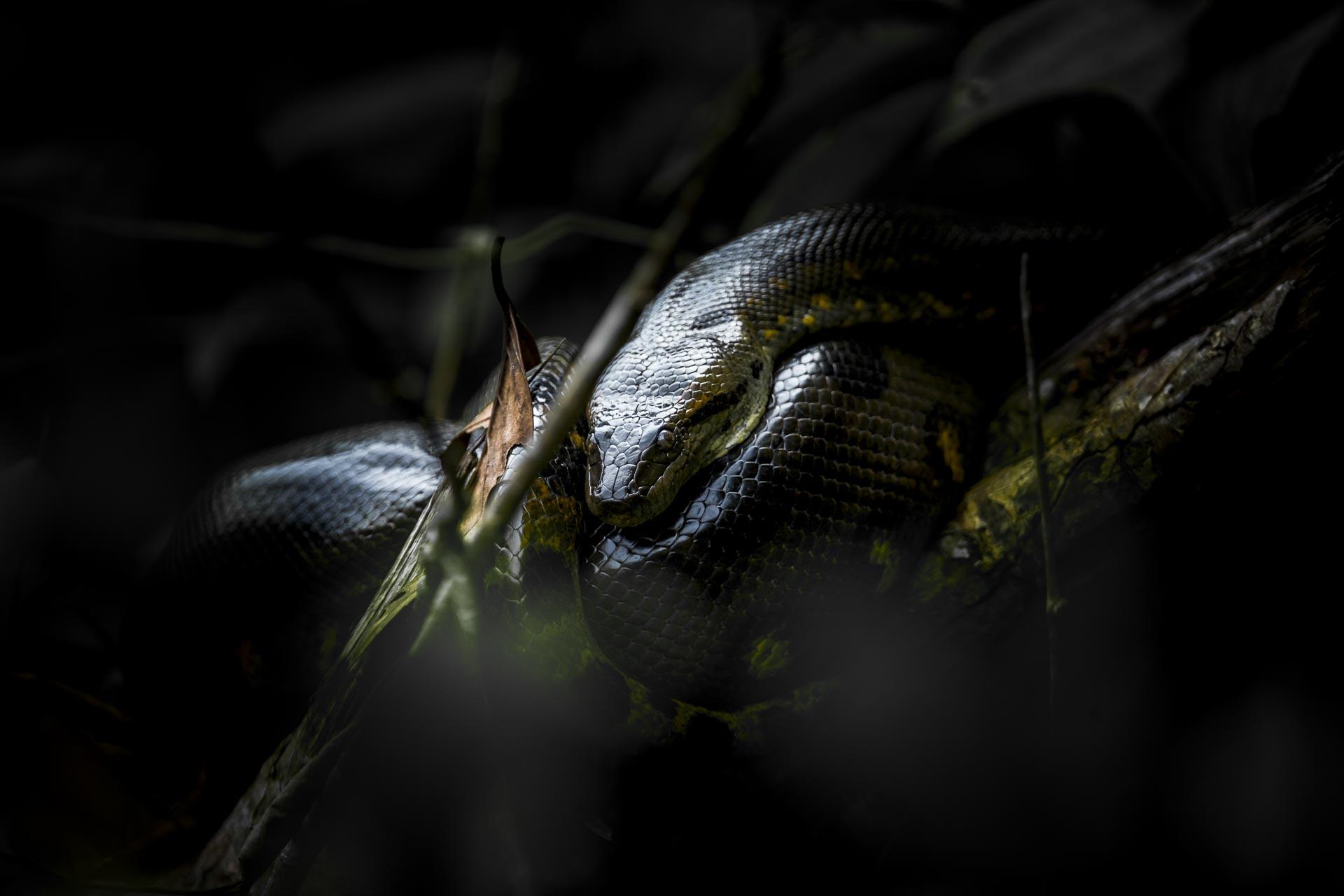 Anaconda - Amazonie Equateur