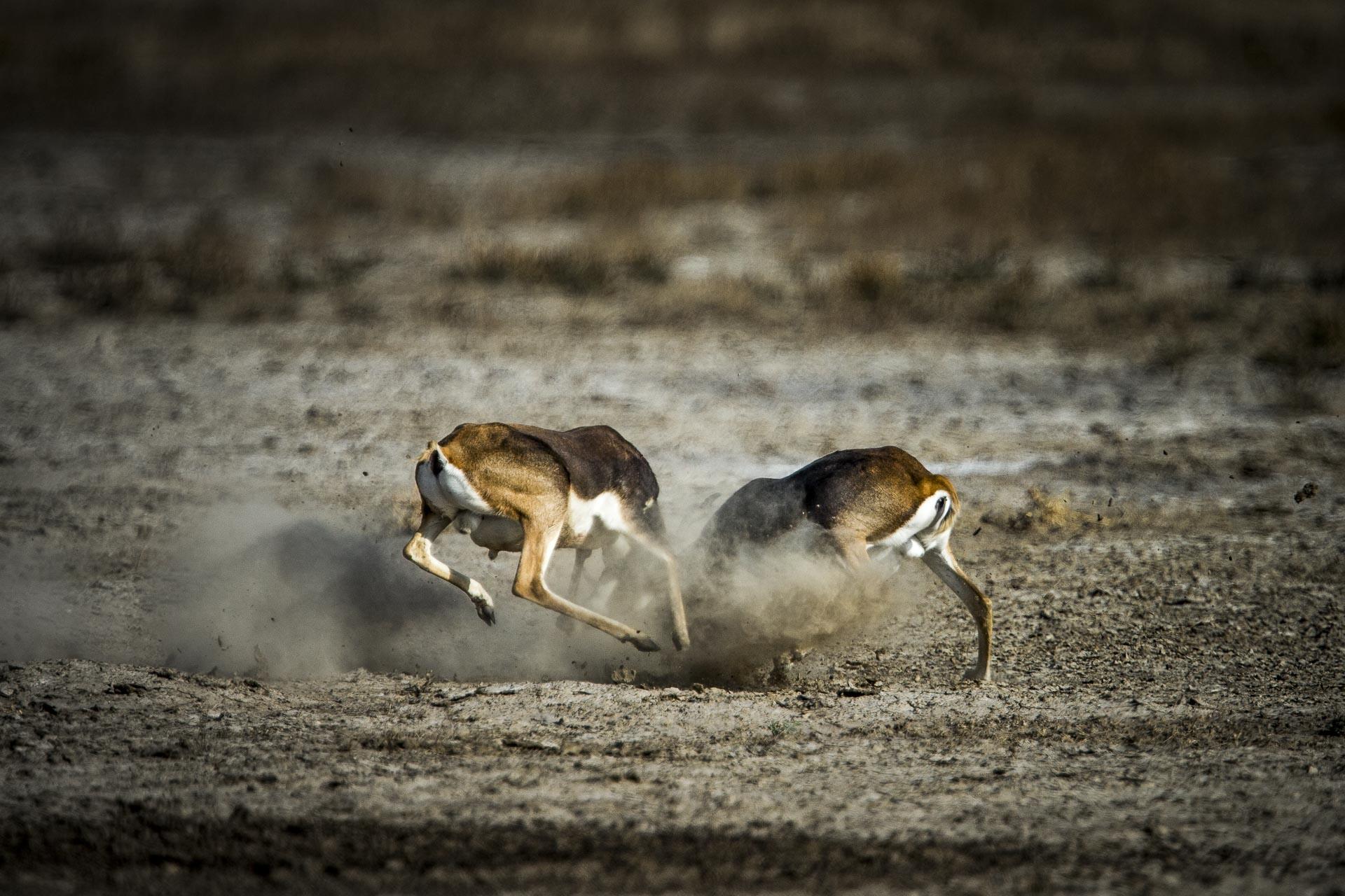 Antilope cervicapre - Inde