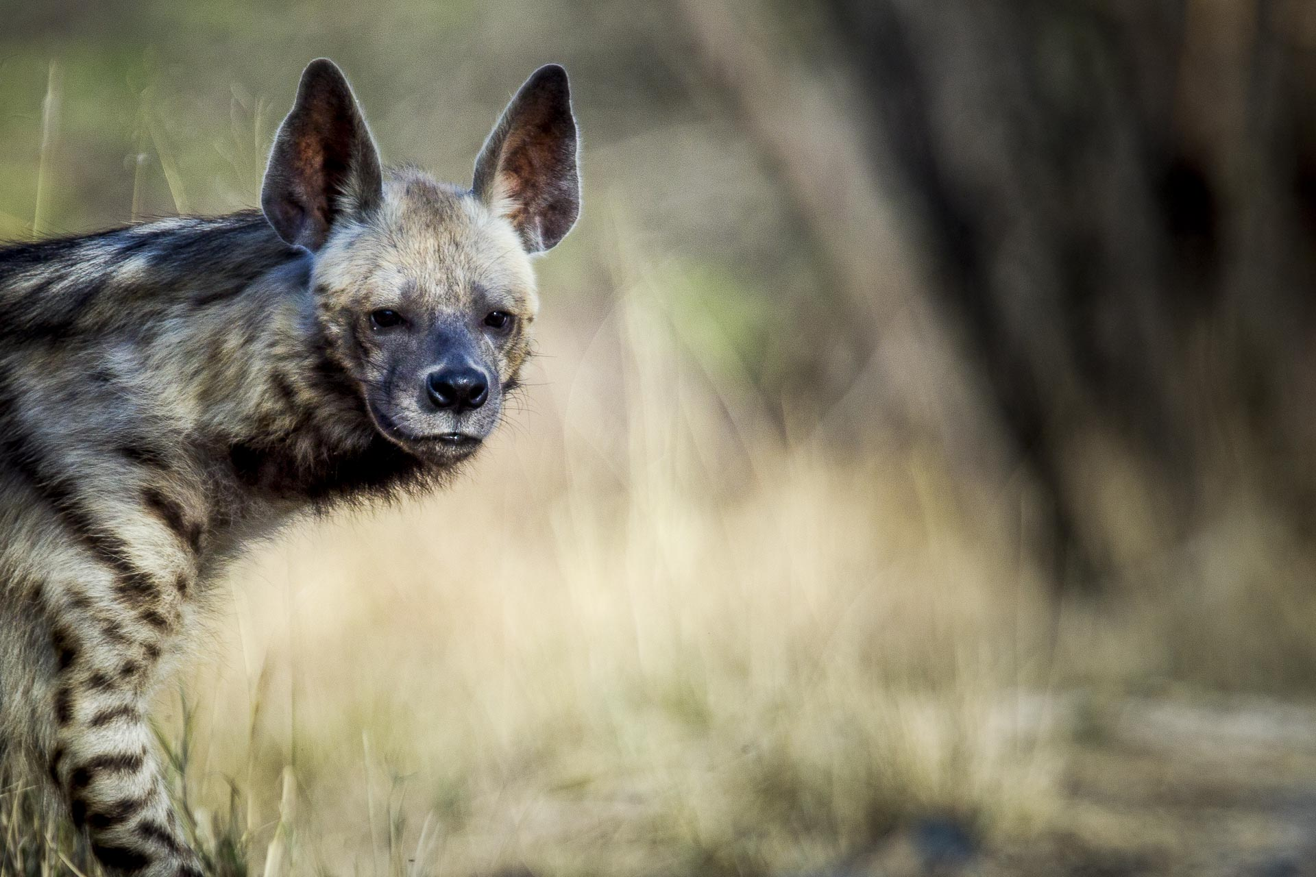 Hyène rayée - Inde