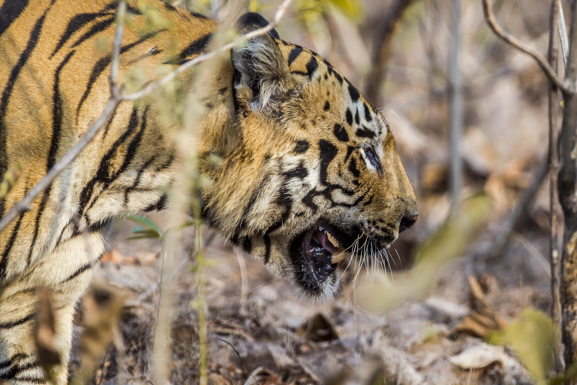 Tigre du bengale - Inde