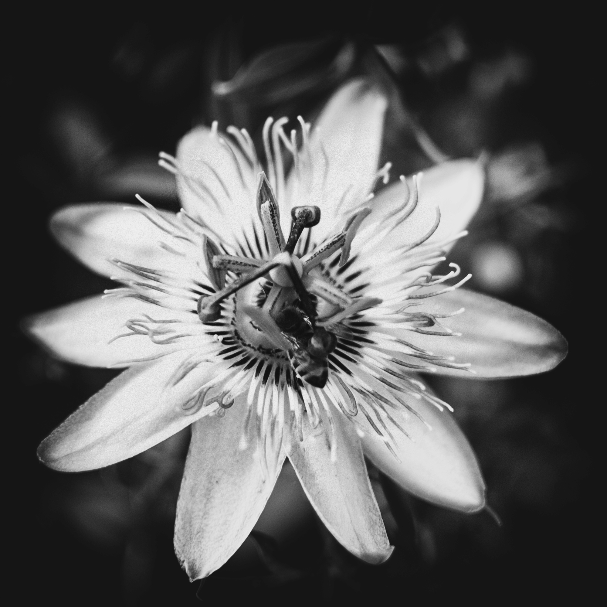 Passion Flower -July 2014