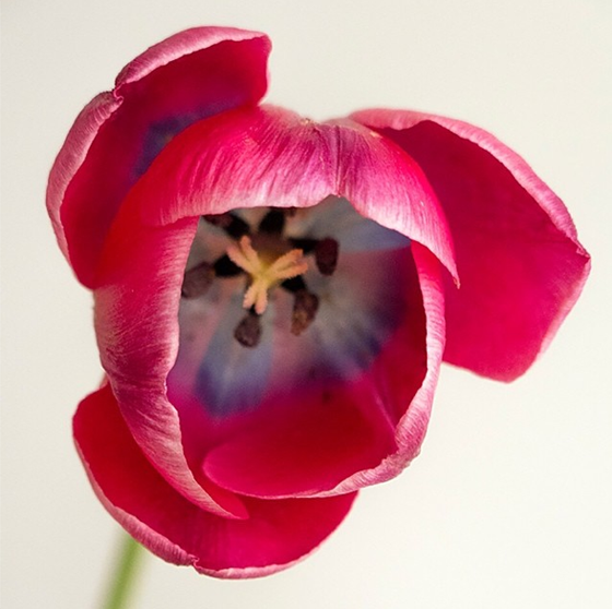 Tulip by Todd