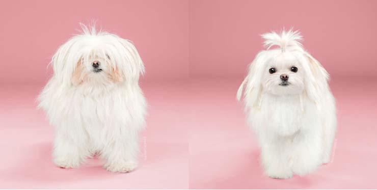 These Before After Japanese Style Dog Grooming Pics Are Too Cute Trey Speegle