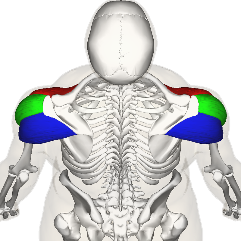 Source: http://en.wikipedia.org/wiki/Deltoid_muscle