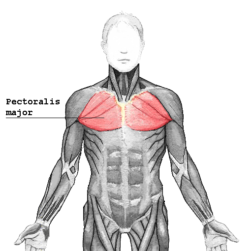 Source:http://en.wikipedia.org/wiki/Pectoralis_major_muscle