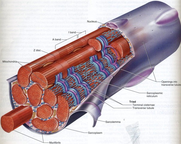 Source: http://slidingfilament.webnode.com/skeletal-muscle/