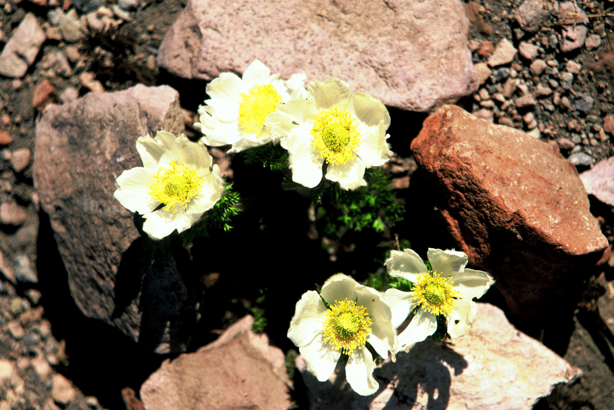 Western Pasque Flower