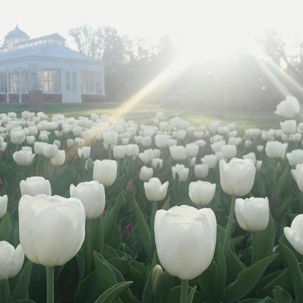 tulips_small.jpg