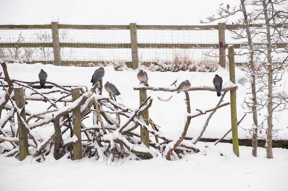 woodpigeons.jpg