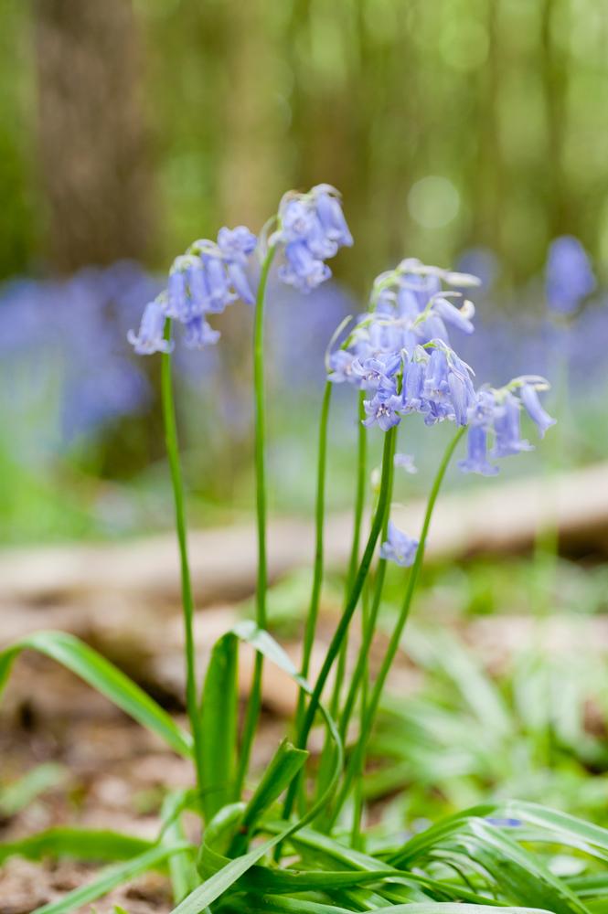 bluebells5.jpg