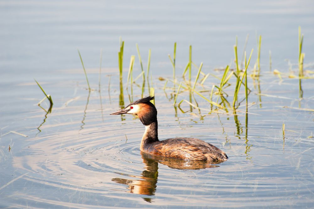 a great crested grebe taking a paddle