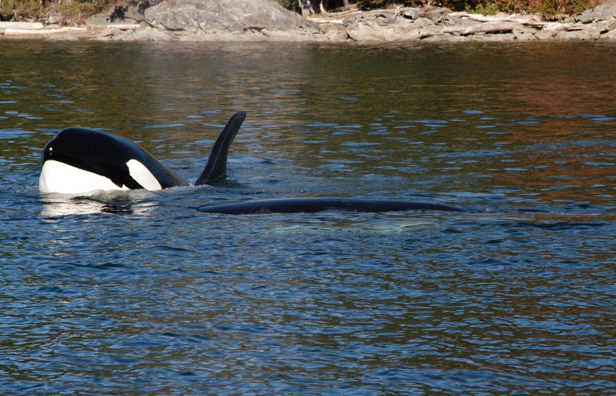 Annenberg Foundation Explore Series: PacificNorthwest - Charles Annenberg travels to Pacific Northwest to cover Orca Whales