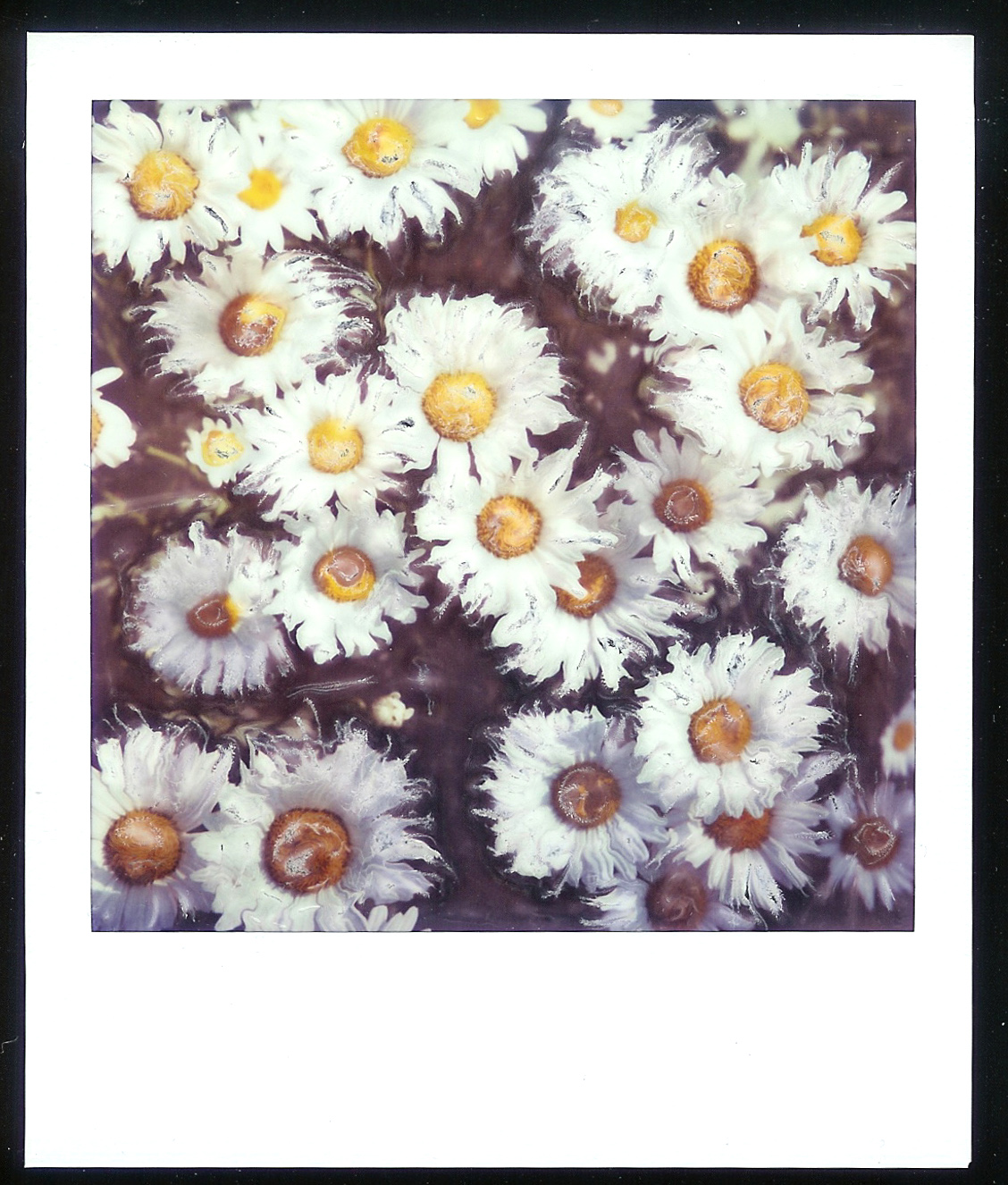 altered daisies.jpg