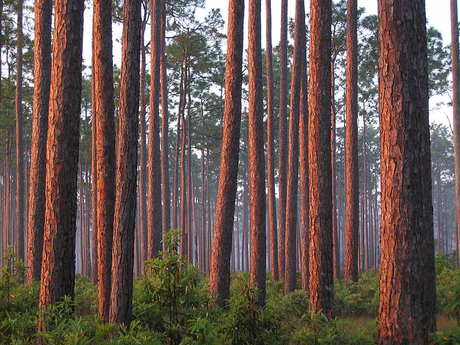 Long Leaf Pines at dawn.jpg