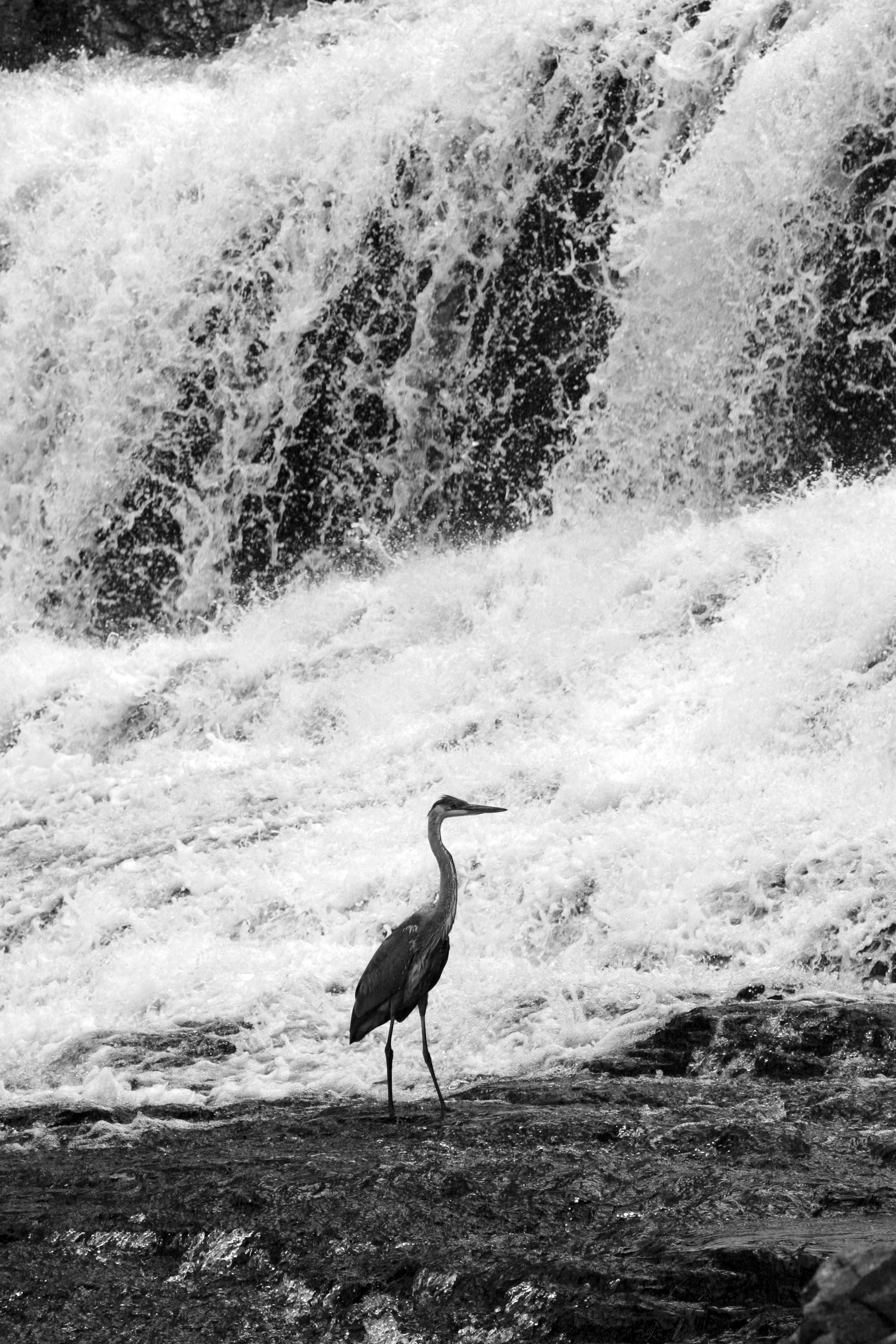 Sandhill crane at Willow River Falls, Wisconsin