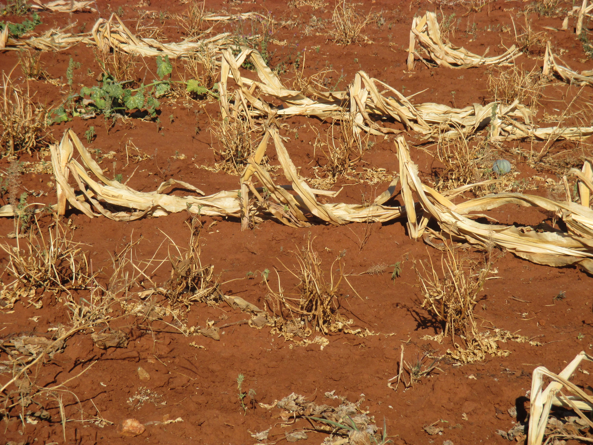 Across the country, corn fields like this one lay dry and withered, leaving many poor farmers with vastly reduced food stocks to feed their families until the next harvest season, which is not until March 2017. Zimbabwe's lean season – which usually starts in October – is expected to start far earlier this year.