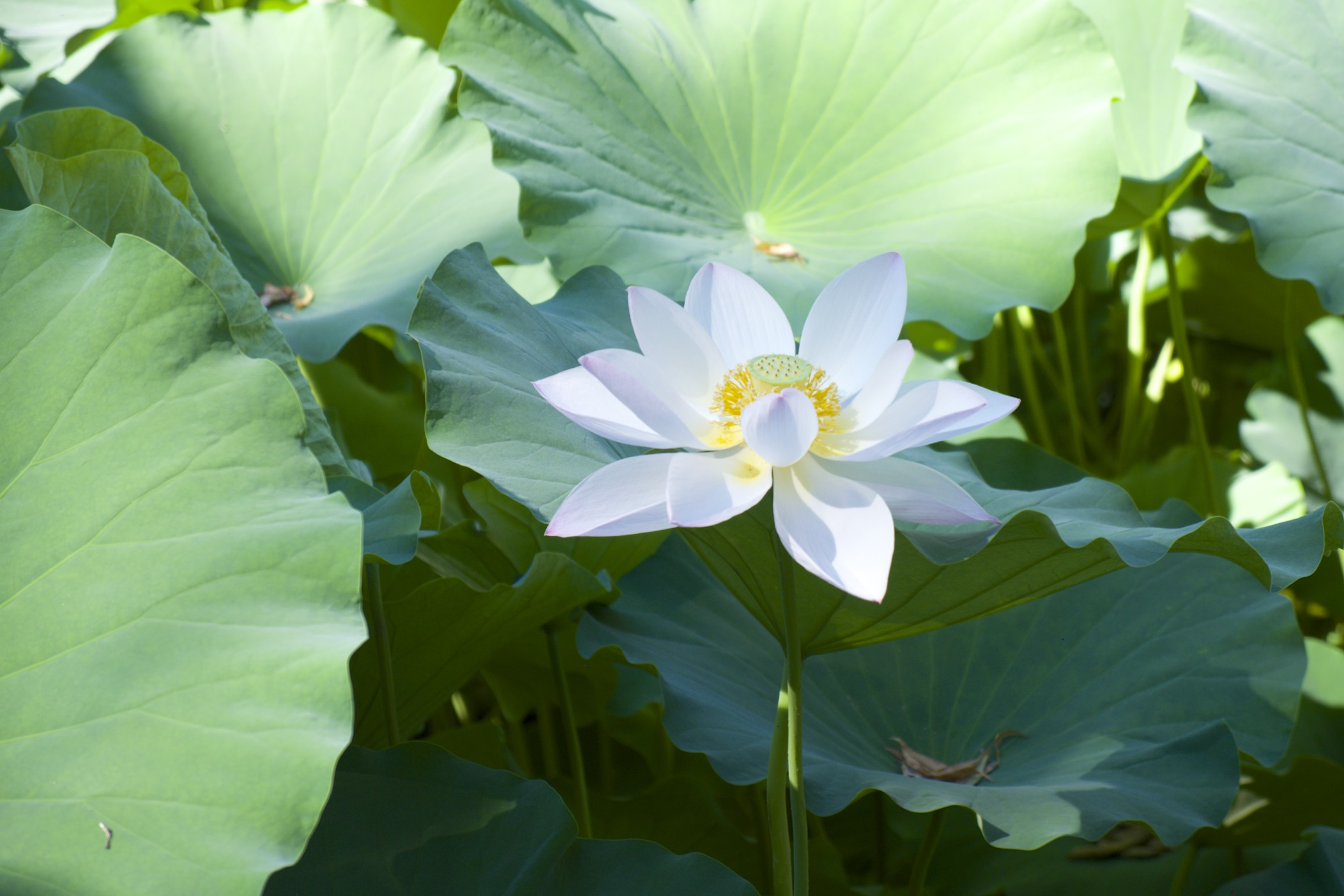 Lotus flower, as seen in Temple of the Sun Park.