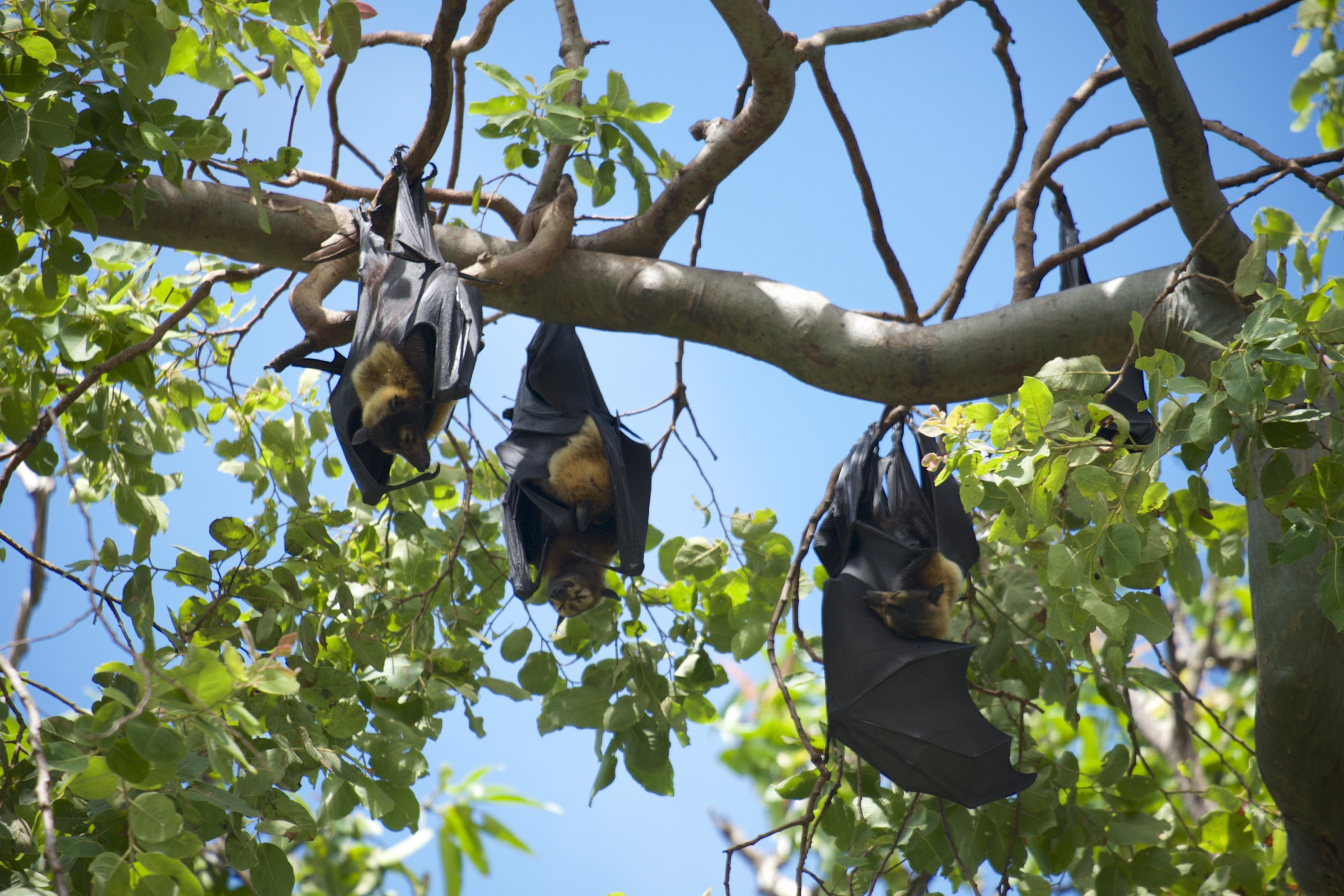 Flying Fox, or Fruit Bat ( Pteropus) hanging around in the trees in Cairns.