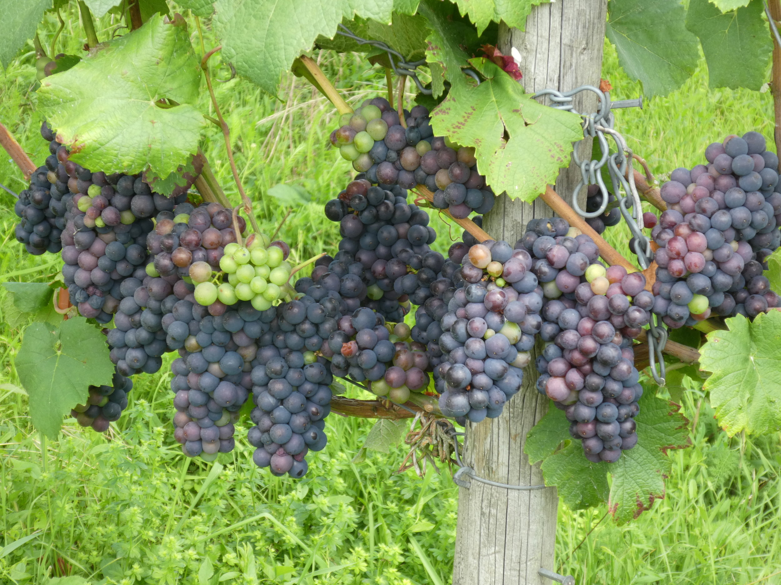 For example, the Rheingau wine area, but also many other countryside beauty-spots, are easy to reach from Frankfurt by local train. Grapes as seen on August 20th. It seems to me that the potential harvest has recovered from early blossum and late frost we had earlier this year.