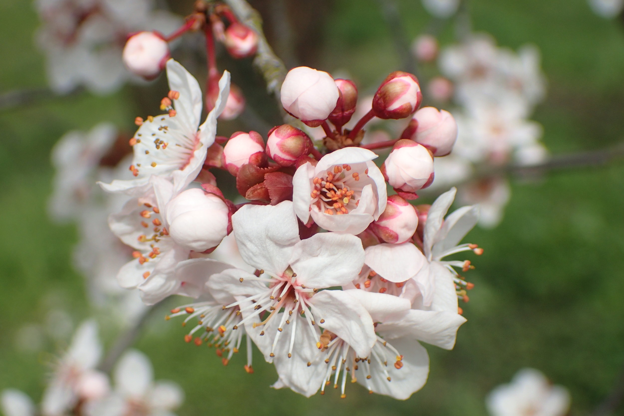 Prunus serrulata (I think)