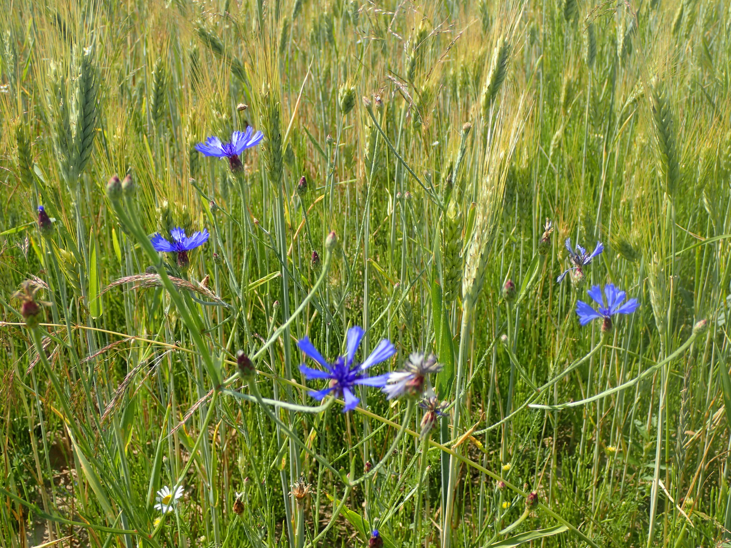 Corn flowers in the field