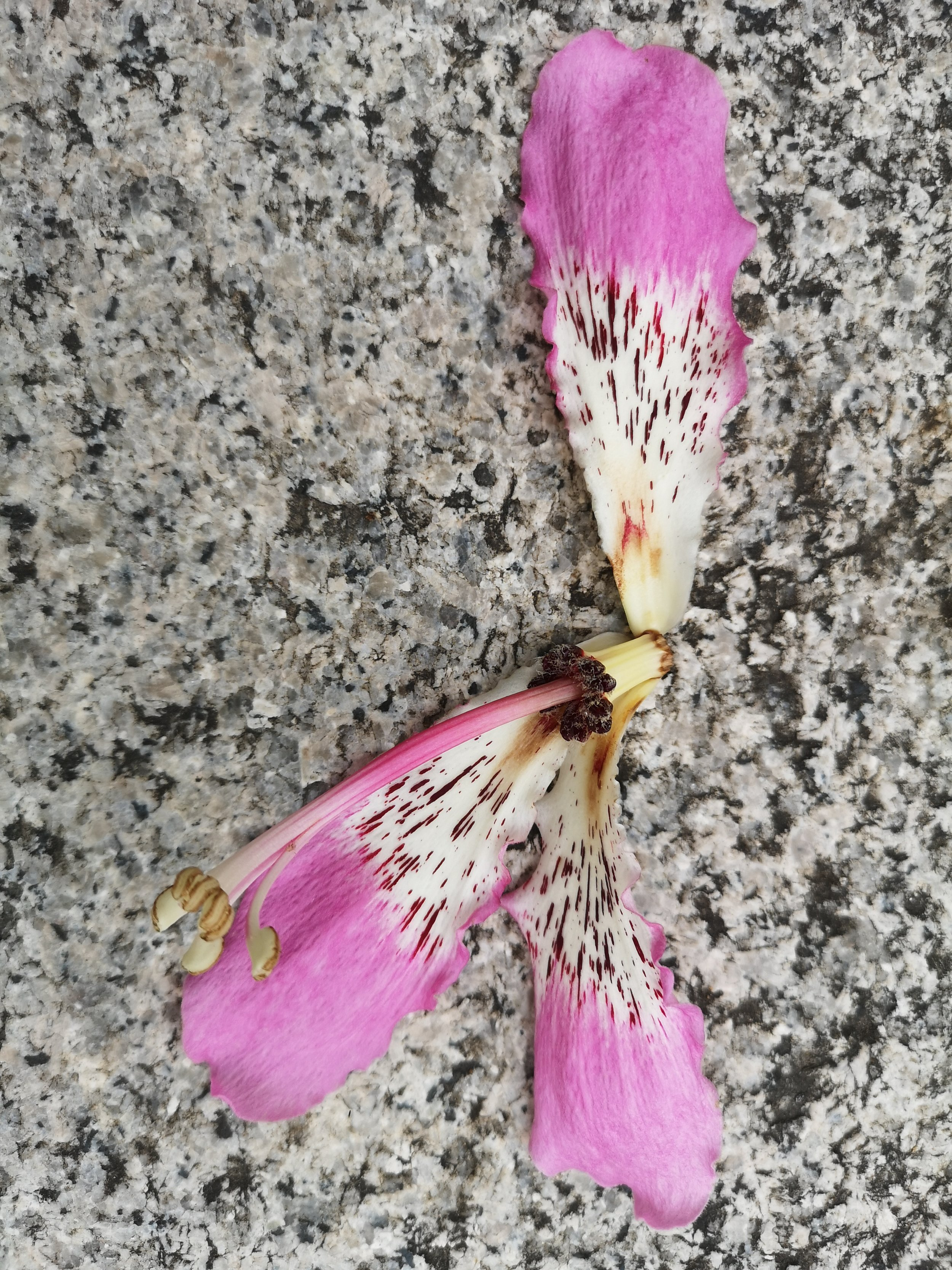 Fallen Bauhinia on the granite staircase up the Hong Kong Zoological Garden.