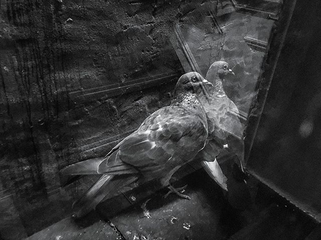 A smidgeon of pigeons. _________ _________ _________ #bw #pigeons #birds #nyc #firescape #gotham #avian #ornithology #urban #street #blessed
