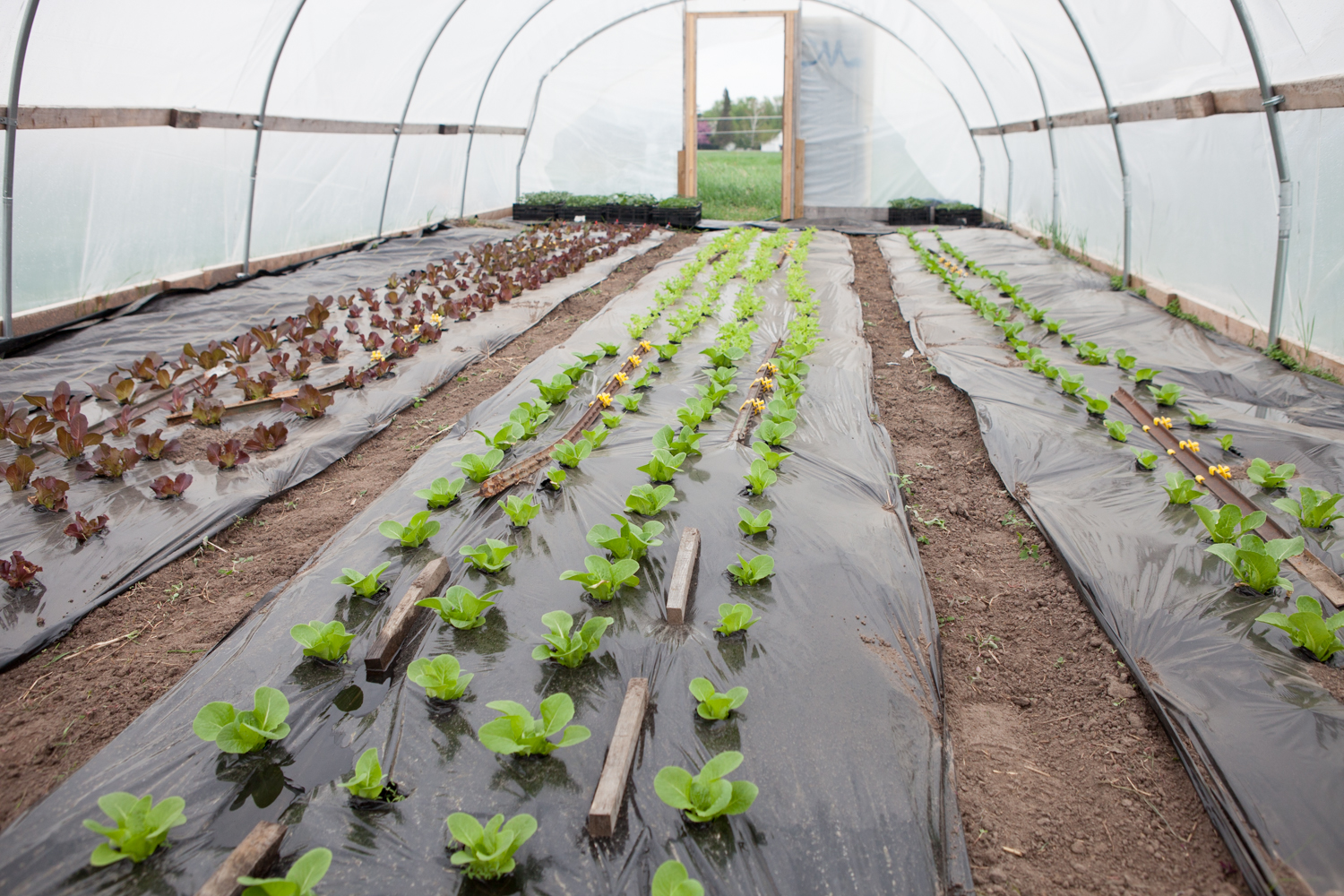 Salad Mix in the Small Hoophouse