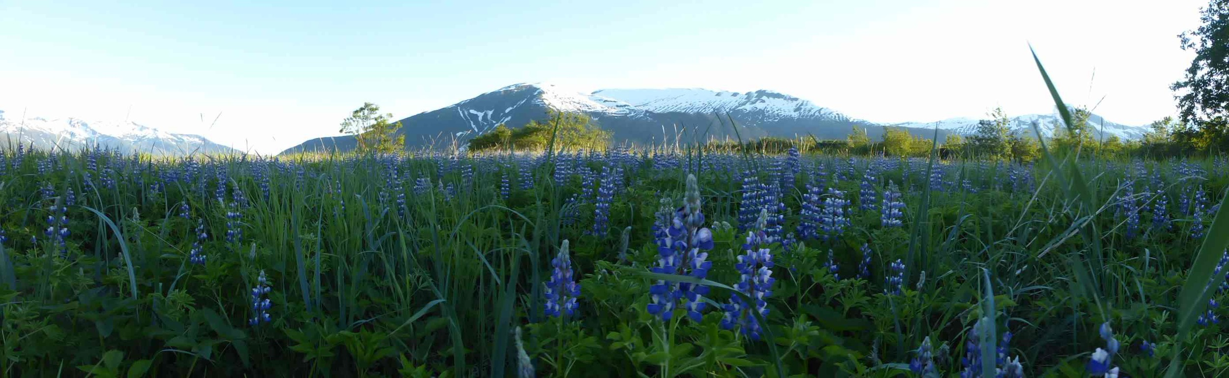 A panoramic view from our campsite of mountains with lupine in the foreground. Photo: Brooke Stamper