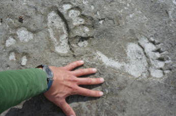 Wolf and Grizzly bear tracks in silt