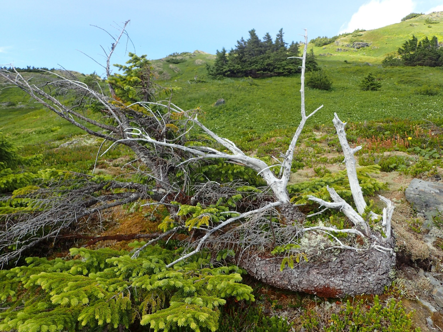 "A stem-layered spruce with dead ""vertical leaders"" (places it tried to become an upright tree and lost) along the (comparatively) very old stem. Back at Camp 17, the JIRP team worked on samples from dead sections like these. Photo courtesy of Jeremy Littell."