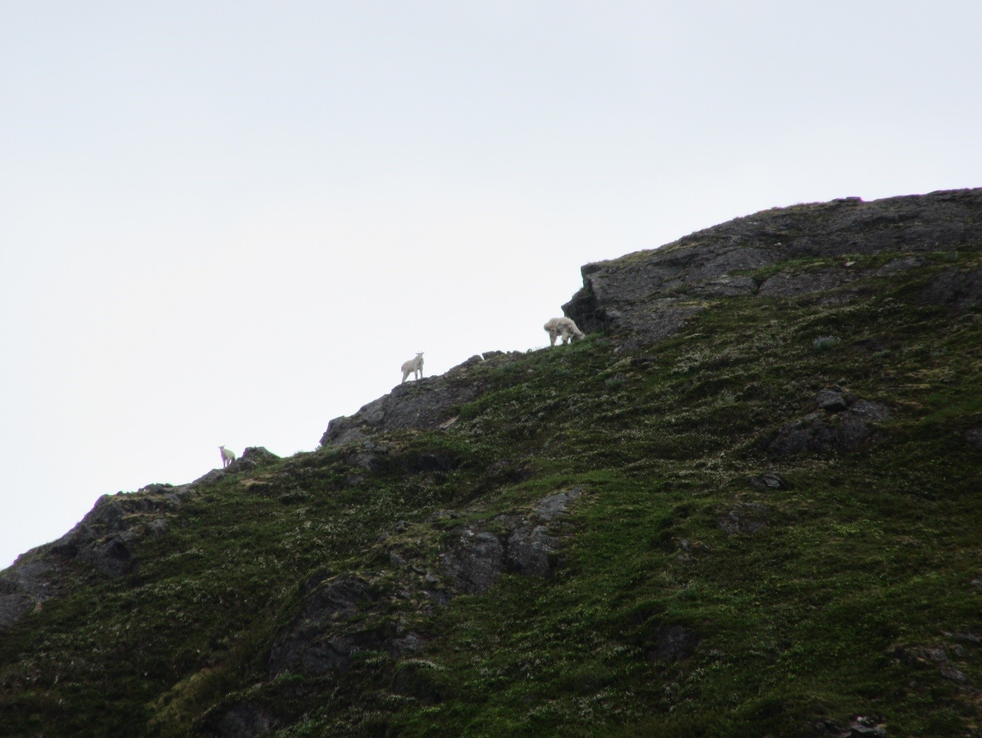 Other goats look on. Photo: Gavin McNamara.