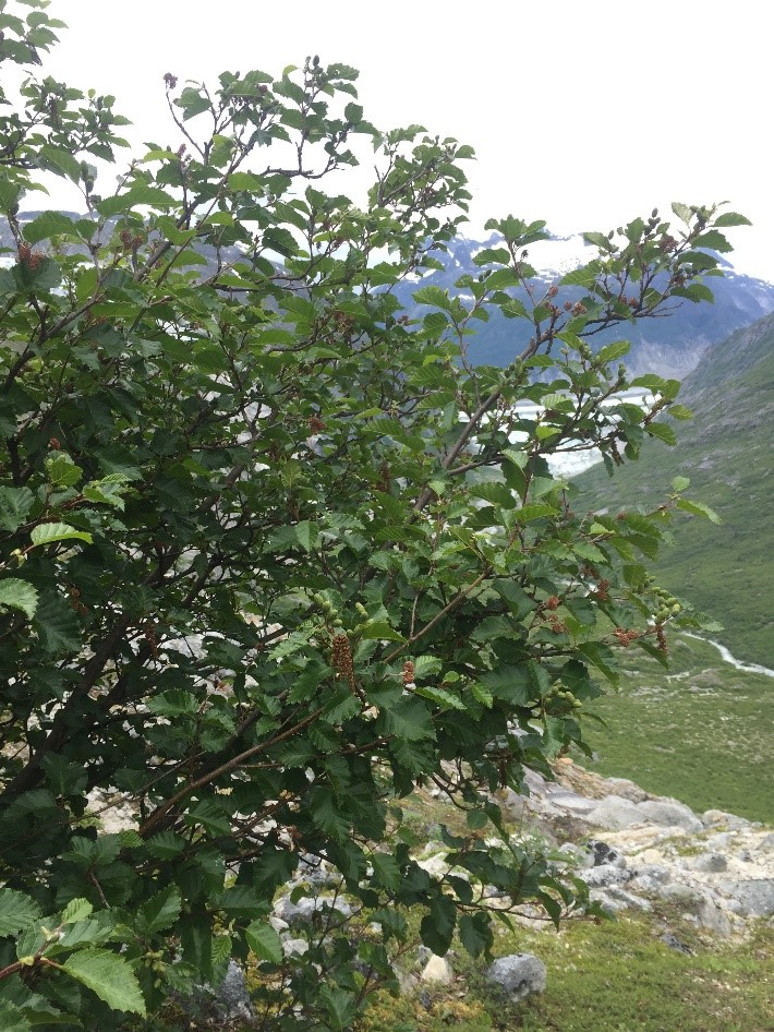 Alder Tree – found at lower elevation in a highly vegetated zone. Photo credit: Susannah Cooley.