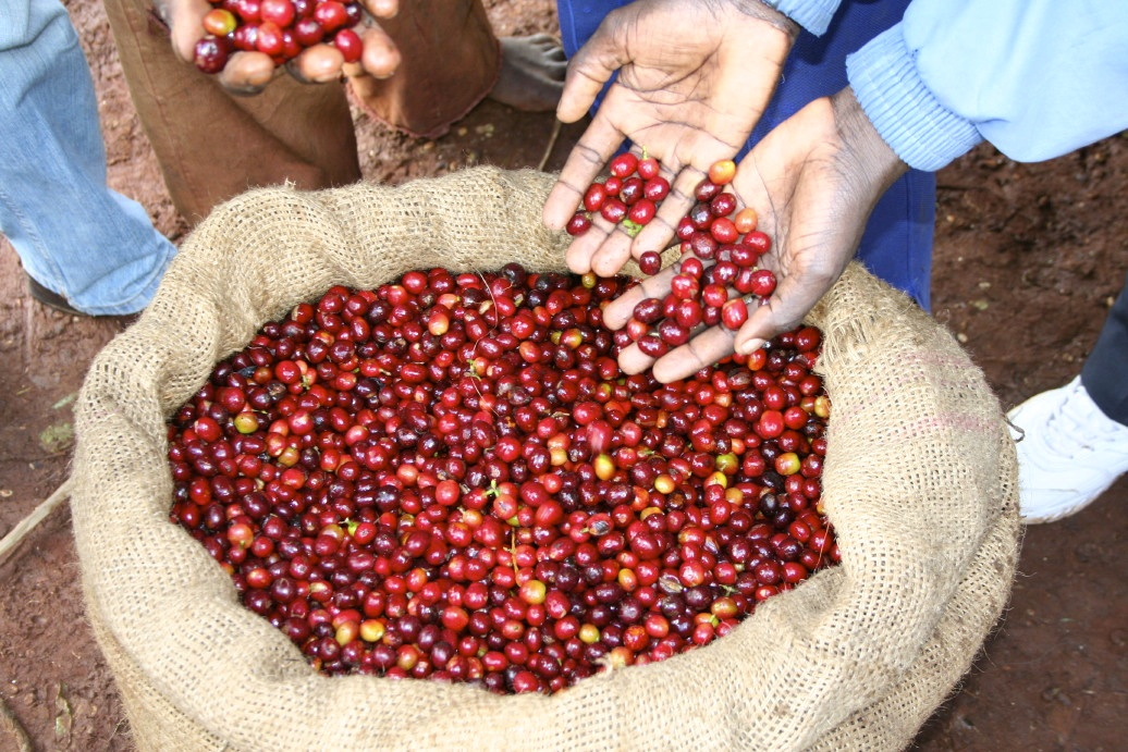 freshly picked coffee_5_1.jpg