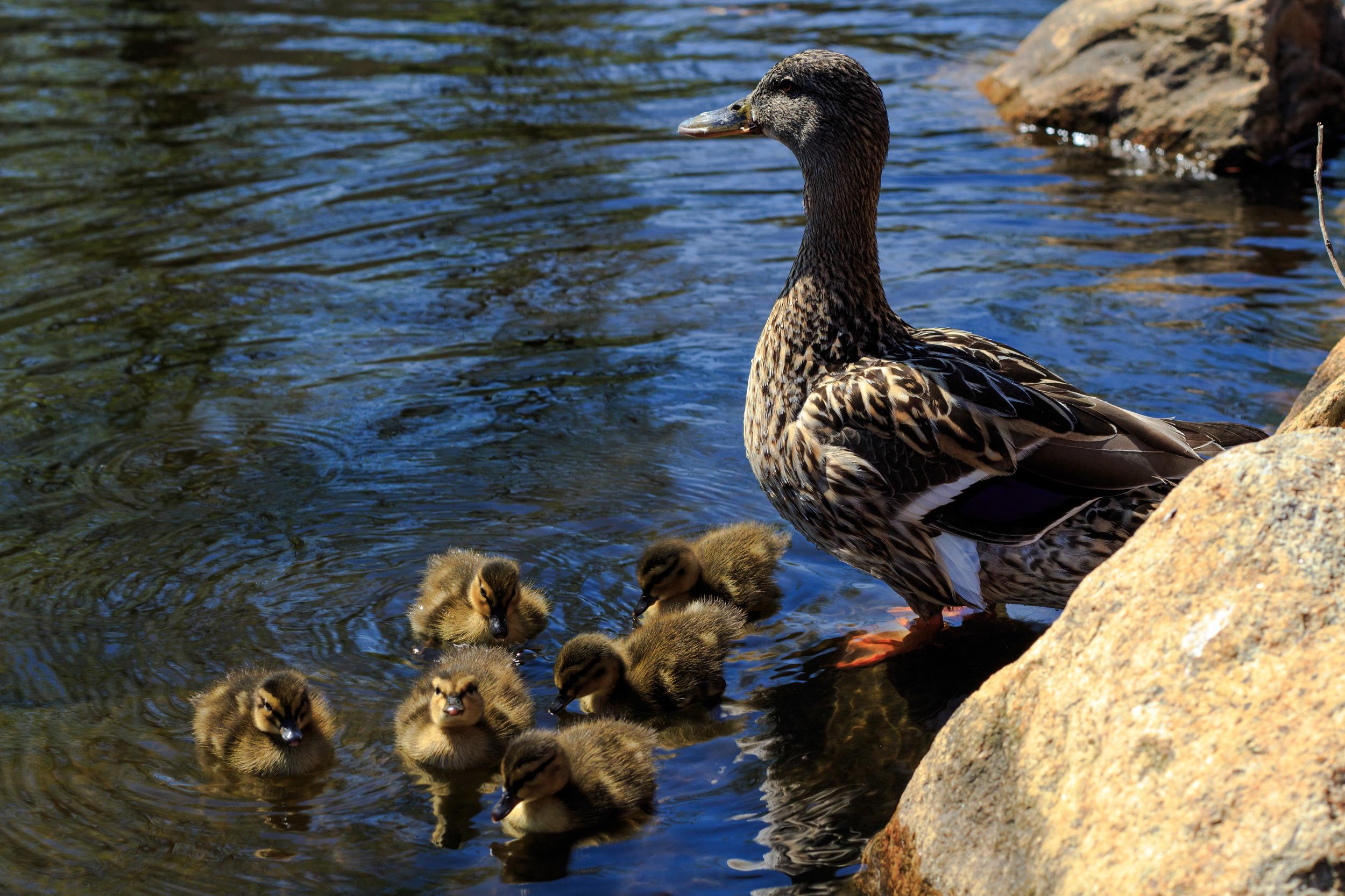 Ducks-0542.jpg